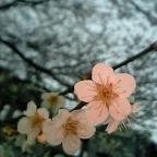 梅と桜の共演